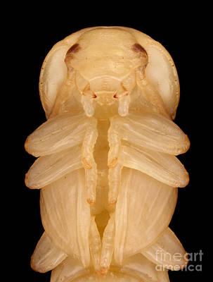 Mealworm Beetle Pupa Poster by Matthias Lenke