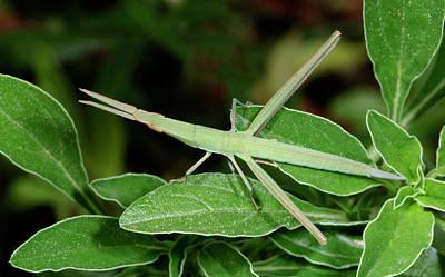 Mediterranean Slant-faced Grasshopper Poster by Nigel Downer