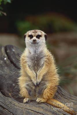 Meerkat Poster by Art Wolfe