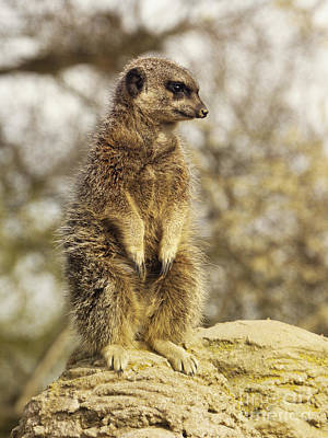 Meerkat On Hill Poster by Pixel Chimp