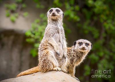 Meerkat Pair Poster by Jamie Pham