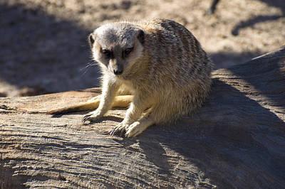 Meerkat Resting On A Rock Poster by Chris Flees