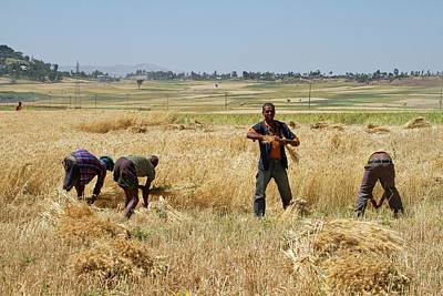 Men Harvesting Wheat Poster by Photostock-israel