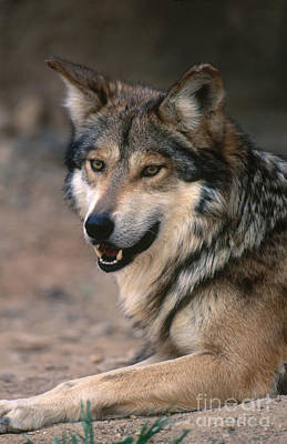 Mexican Gray Wolf Poster by Art Wolfe
