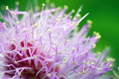 Mimosa Pudica Flower Poster by Olivier Vandeginste