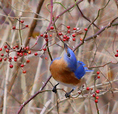 Mmm Berries By James Figielski Poster by Paulinskill River Photography