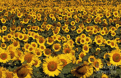 Monet Sunflowers Poster by David Bearden