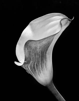 Monochrome Calla Lily II Poster by David and Carol Kelly