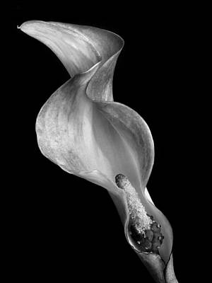 Monochrome Calla Lily Iv Poster by David and Carol Kelly