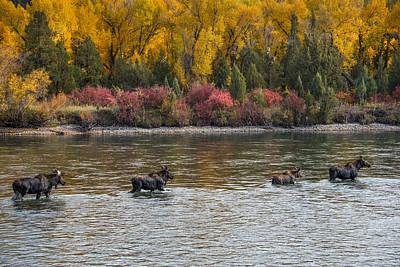 Moose Crossing 2 Poster by Leland D Howard