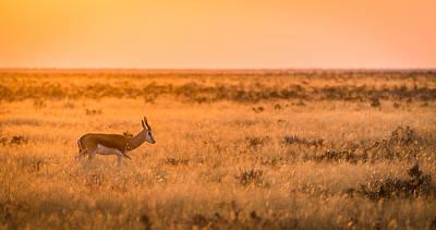 Morning Stroll - Springbok Antelope Photograph Poster by Duane Miller