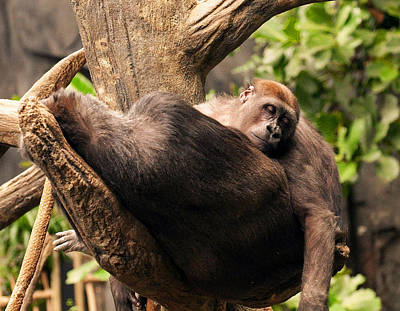 Mother And Youg Gorilla Sleeping In A Tree Poster by Chris Flees
