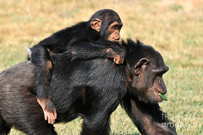 Mother Chimpanzee With Baby On Her Back Poster by George Atsametakis
