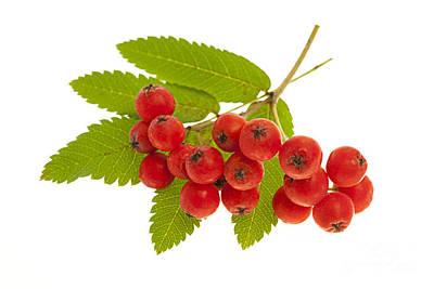 Mountain Ash Berries Poster by Elena Elisseeva