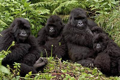 Mountain Gorilla Susa Group Poster by Ingo Arndt