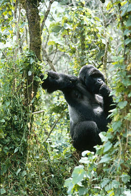 Mountain Gorilla Poster by Tierbild Okapia