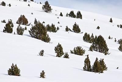 Mountain Pine (pinus Mugo) Trees In Snow Poster by Bob Gibbons