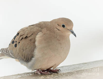 Mourning Dove Poster by Cheryl Baxter