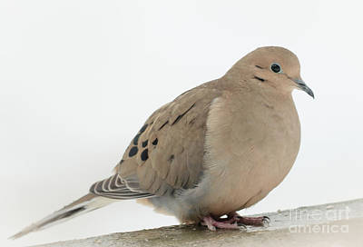 Mourning Dove2 Poster by Cheryl Baxter