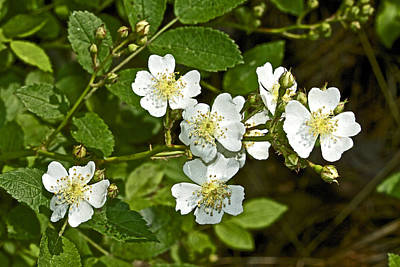 Multiflora Rose - Dog Roses - Rosa Multiflora - Wildflower Poster by Mother Nature