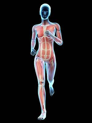 Muscular System Of A Runner Poster by Sebastian Kaulitzki