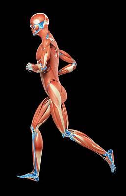 Muscular System Of Jogger Poster by Sebastian Kaulitzki
