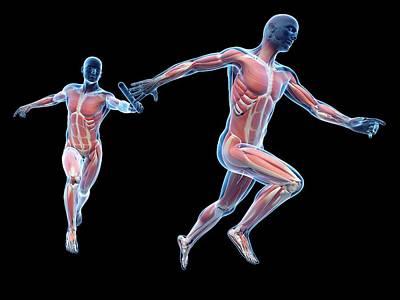 Muscular System Of Runners Poster by Sebastian Kaulitzki