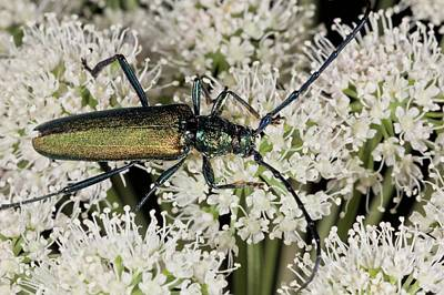 Musk Beetle Feeding On Angelica Flowers Poster by Bob Gibbons
