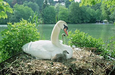 Mute Swan Parent And Chicks On Nest Poster by Konrad Wothe