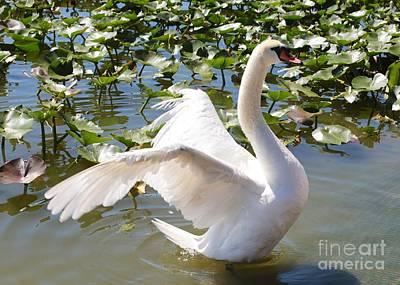 Mute Swan Wings Poster by Carol Groenen