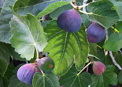 My Fig Tree Poster by Charlette Miller