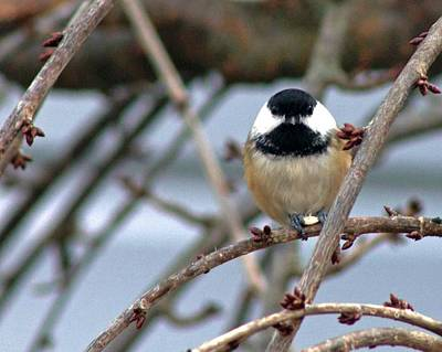 My Lil Chickadee Poster by Rhonda Humphreys