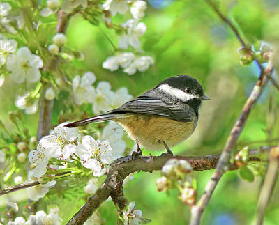 My Little Chickadee In The Cherry Tree Poster by Jennie Marie Schell