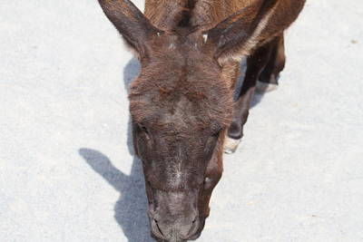 National Zoo - Donkey - 01132 Poster by DC Photographer