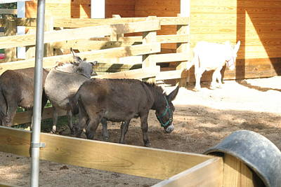 National Zoo - Donkey - 12121 Poster by DC Photographer