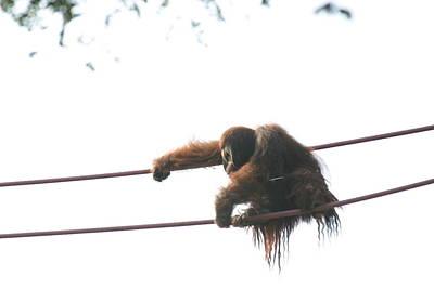 National Zoo - Orangutan - 121219 Poster by DC Photographer