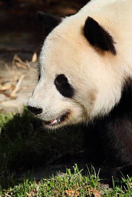 National Zoo - Panda - 011324 Poster by DC Photographer