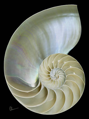 Nautilus Shell On Black Poster by Mary Ahern