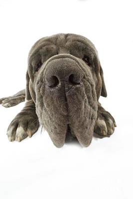 Neapolitan Mastiff Nose Poster by Jean-Michel Labat