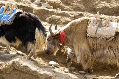 Nepal Yak Move Along The Everest Base Poster by David Noyes