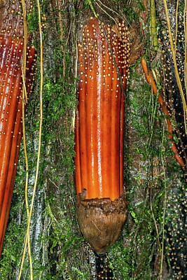 New Root Of An Iriartea Deltoidea Palm Poster by Dr Morley Read