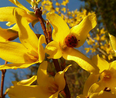 New Season - Old Friend  ... Forsythia In Springtime Poster by Connie Handscomb