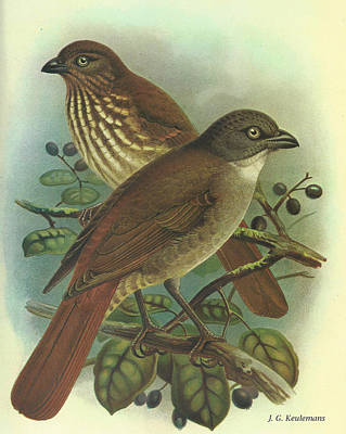 New Zealand Thrush Poster by J G Keulemans