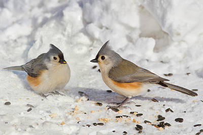 Nice Pair Of Titmice Poster by John Absher