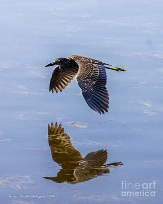 Night Heron Fly By 1 Poster by Nancy L Marshall
