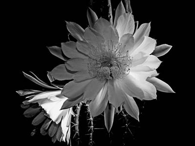 Nightblooming Cereus Cactus Flower Poster by Susan Duda