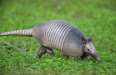 Nine-banded Armadillo, Or Long Nose Poster by Maresa Pryor