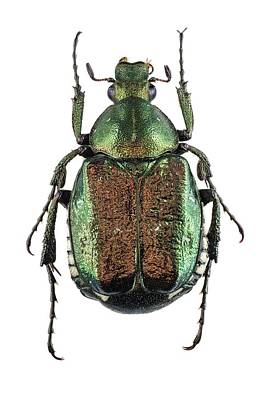 Noble Chafer Poster by F. Martinez Clavel