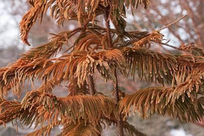 Norfolk Island Pine (a. Heterophylla) Poster by Dr. Nick Kurzenko