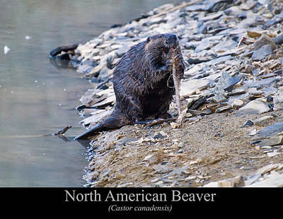 North American Beaver Poster by Chris Flees